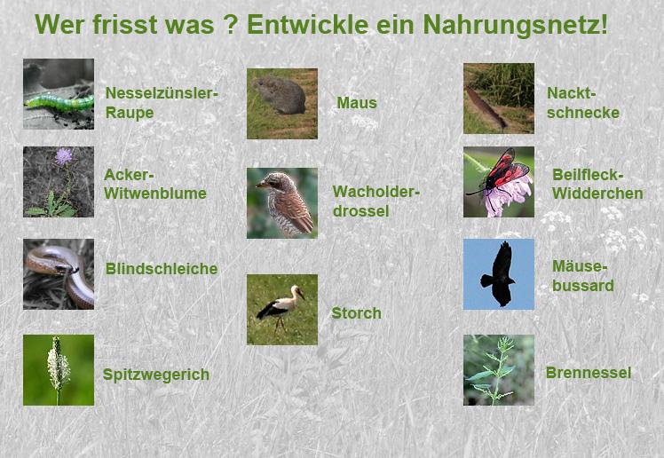Groß Nahrungsketten Und Nahrungsnetze Arbeitsblatt Der Mittelschule ...